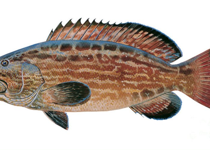 Grouper Greeting Card featuring the painting Black Grouper by Carey Chen