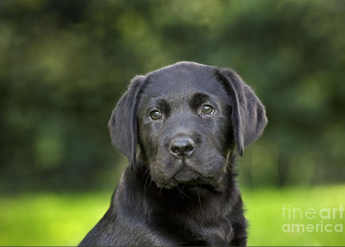 Labrador Retriever Greeting Card featuring the photograph Black Labrador Puppy by Johan De Meester