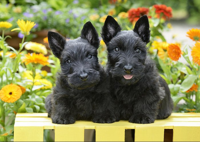 Horizontal Greeting Card featuring the photograph Black Scotties by Greg Cuddiford