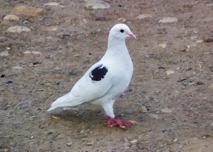 Black Spotted White Pigeon Greeting Card