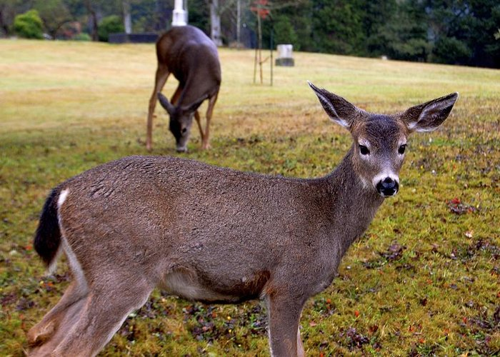 Deer Greeting Card featuring the photograph Black-tailed Deer by Nelson Falker