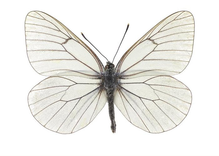 Entomology Greeting Card featuring the photograph Black-veined White Butterfly by Science Photo Library