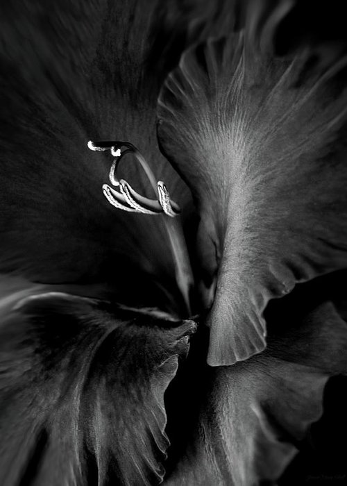 Gladiola Greeting Card featuring the photograph Black Velvet Gladiolia Flower by Jennie Marie Schell