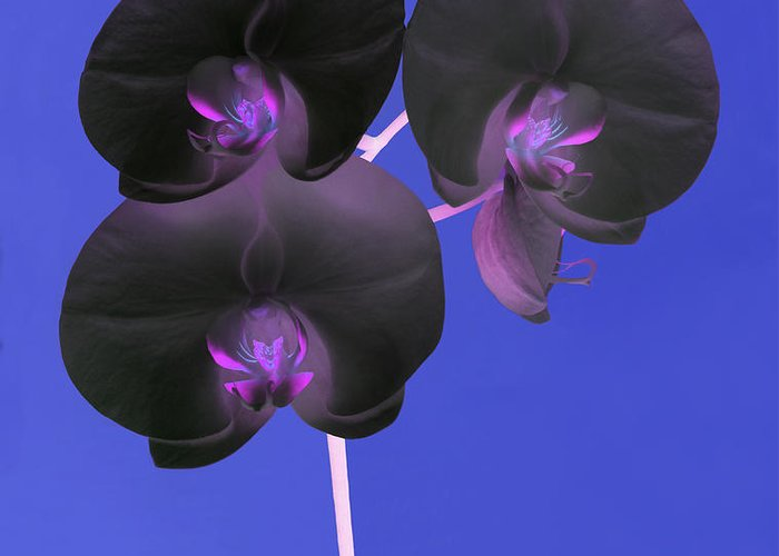 Orchid Greeting Card featuring the photograph Black Velvet Orchid by Rosemary Calvert