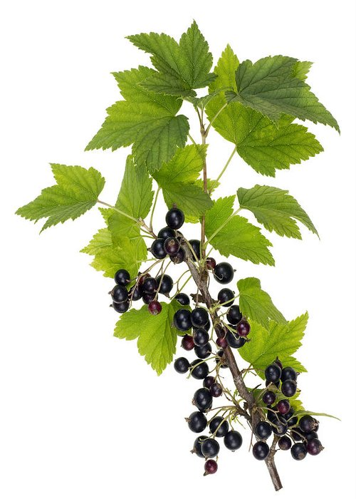 Black Greeting Card featuring the photograph Black Wild Forest Berries by Aleksandr Volkov
