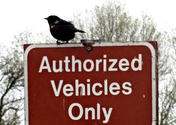 Ridgefield National Wildlife Refuge Greeting Card featuring the photograph Blackbird On Patrol by Lizbeth Bostrom