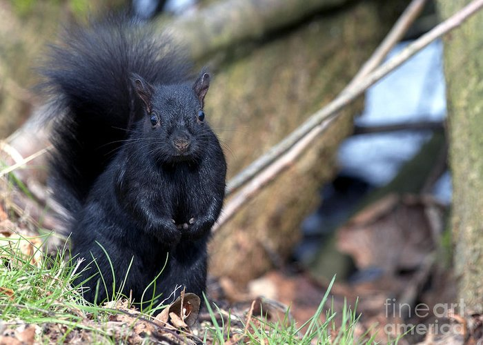 Black Squirrel Greeting Card featuring the photograph Blackie by Sharon Talson