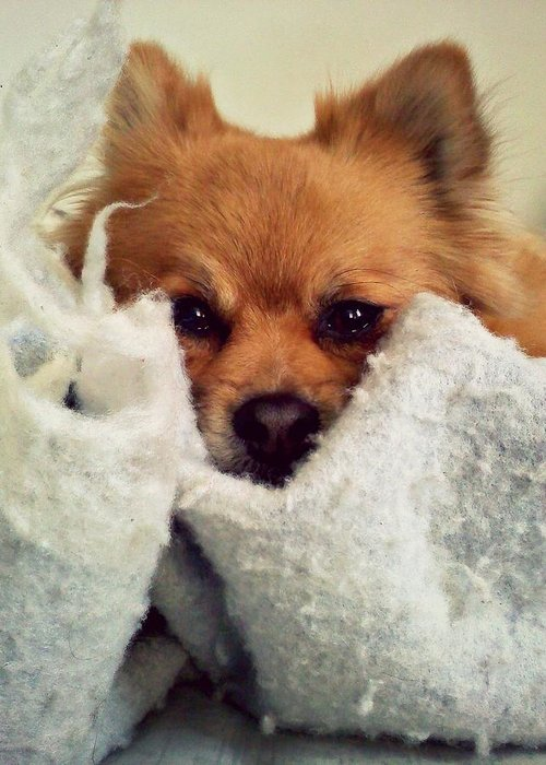 Dog Greeting Card featuring the photograph Blankets by Michelle Flory