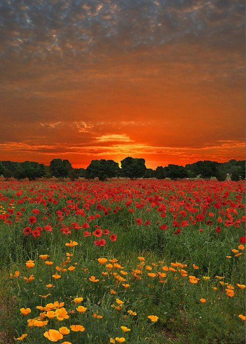 Poppy Greeting Card featuring the photograph Blaze Of Glory by Lynn Bauer