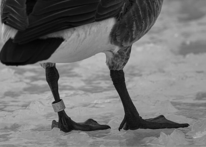 Canadian Goose Greeting Card featuring the photograph Bling by Thomas Young