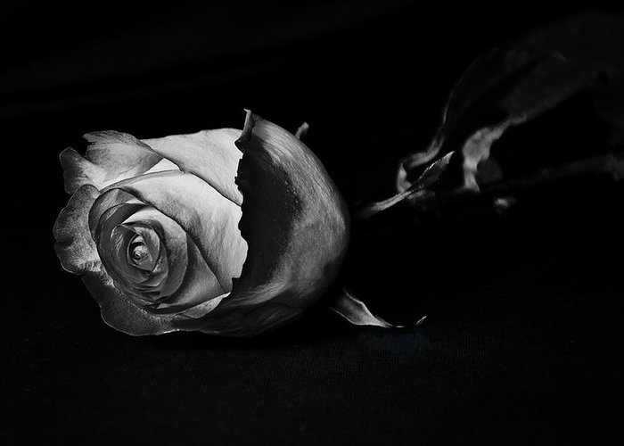 Rose Greeting Card featuring the photograph Bloodless Rose by Vanessa Valdes