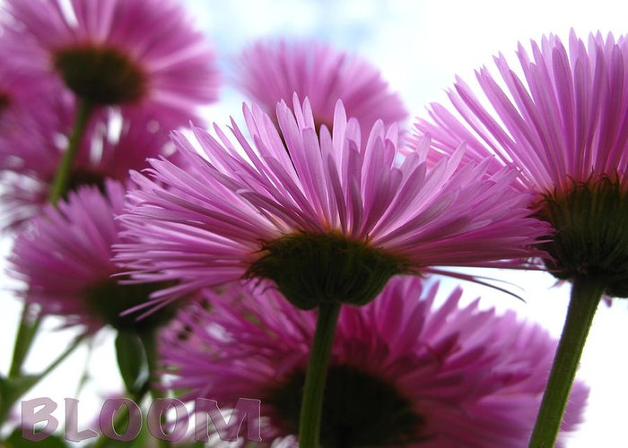 Flower Greeting Card featuring the photograph Bloom Pink Daisies by Debra Schwab