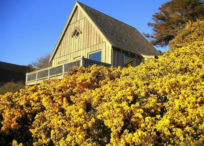 Blooming Bandon Broom Greeting Card featuring the photograph Blooming Bandon Broom by Will Borden