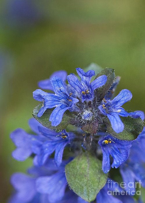 Flower Greeting Card featuring the photograph Blue Ajuga by Lee Craig