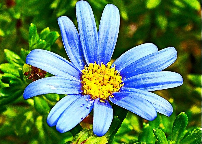 Blue Aster In Park Sierra Near Coarsegold Greeting Card featuring the photograph Blue Aster In Park Sierra Near Coarsegold-california  by Ruth Hager