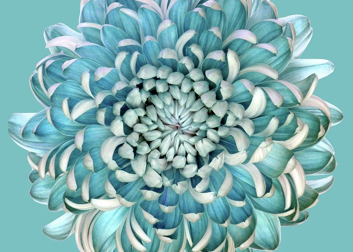 Chrysanthemum Greeting Cards