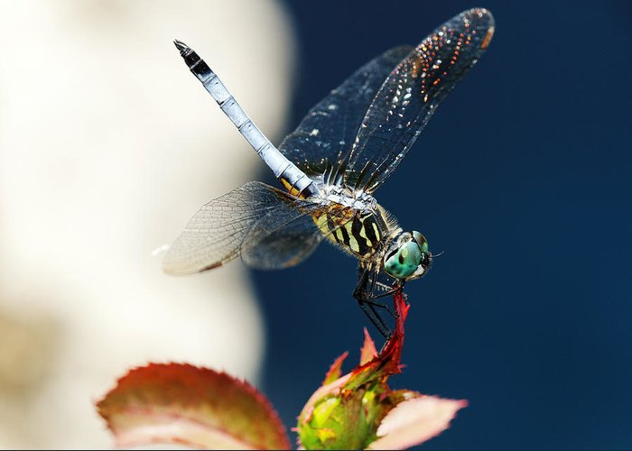 Bug Greeting Card featuring the photograph Blue Dasher Dragonfly by Charles Feagans