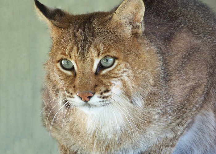 Cats Greeting Card featuring the photograph Blue Eyed Bobcat by Jennifer King