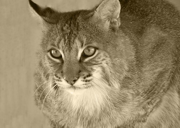 Bobcats Greeting Card featuring the photograph Blue Eyed Bobcat-sepia by Jennifer King