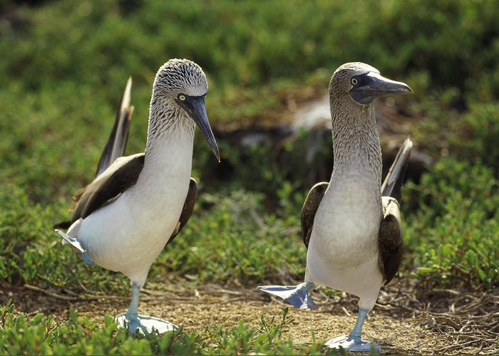Mp Greeting Card featuring the photograph Blue-footed Booby Pair In Courtship by Tui De Roy
