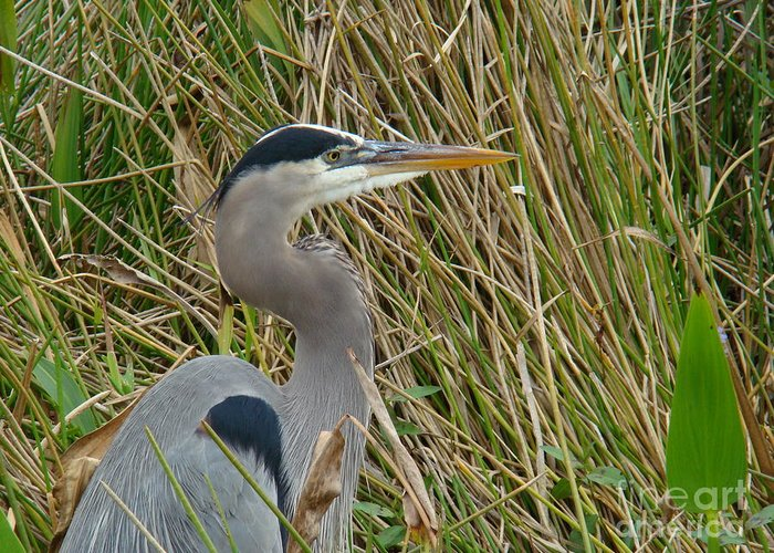 Nature Greeting Card featuring the photograph Blue Heron by Eva Kato