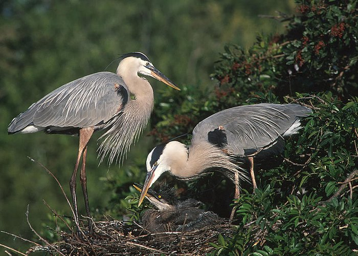 Nature Greeting Card featuring the photograph Blue Heron Feeding Young by Ralph Brunner