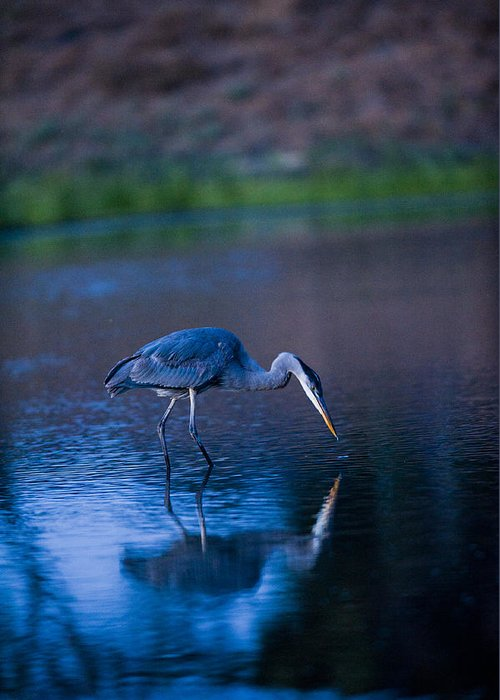 Herons Greeting Card featuring the photograph Blue Heron In Pond by Richard Brooks
