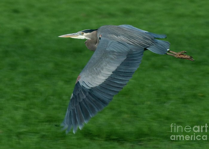 Birds Greeting Card featuring the photograph Blue Heron by Rod Wiens