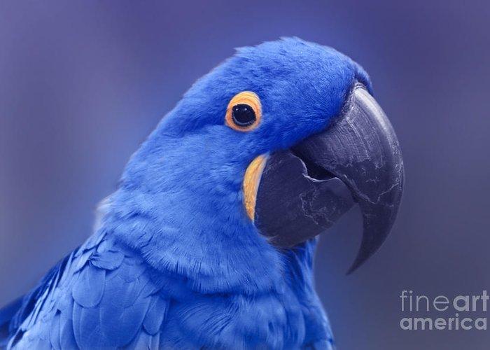 Blue Hyacinth Macaw - Anodorhynchus Hyacinthinus - Puohokamoa Hoolawa Maui  Hawaii Greeting Card