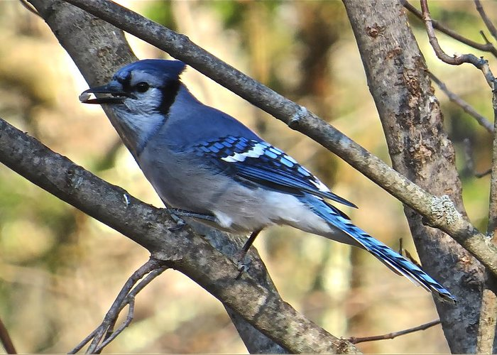 Blue Jay Greeting Card featuring the photograph Blue Jay 112 by Patsy Pratt