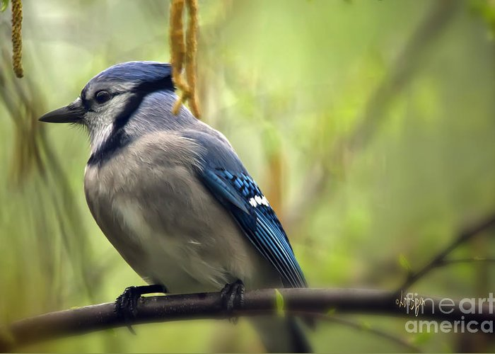 Bird Greeting Card featuring the photograph Blue Jay On A Misty Spring Day by Lois Bryan