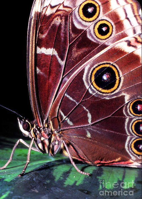 Blue Morpho Greeting Card featuring the photograph Blue Morpho Butterfly by Thomas R Fletcher