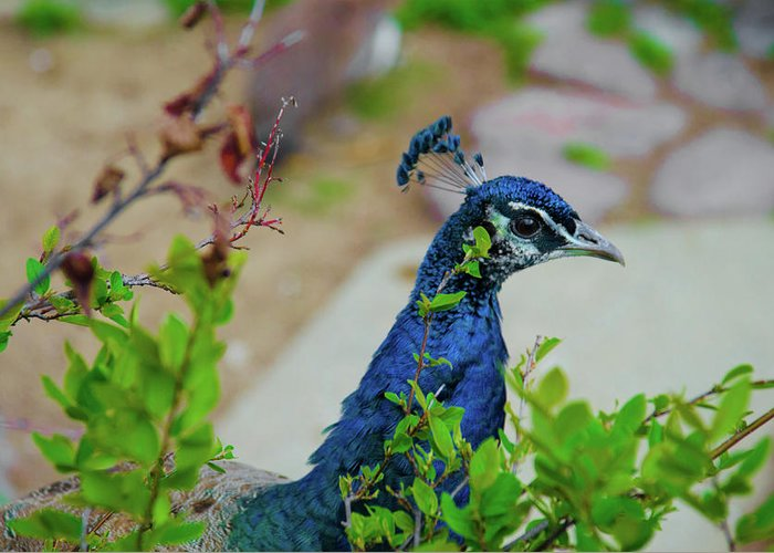 Banjiwayume Photography Greeting Card featuring the photograph Blue Peacock Green Plants by Jonah Anderson