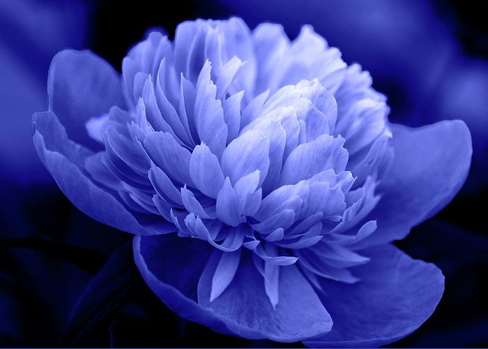 Flowers Greeting Card featuring the photograph Blue Peony by Sandy Keeton