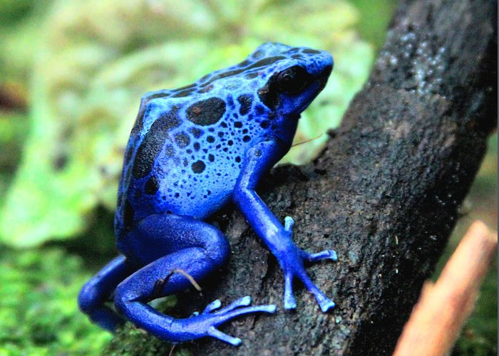 the best attitude d8f37 faa3c Frog Greeting Card featuring the photograph Blue Poison Dart Frog by Greg  Thiemeyer