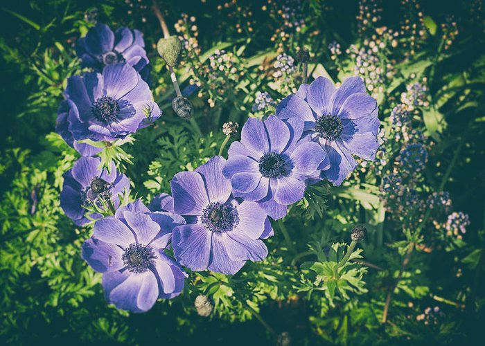 Anemone Greeting Card featuring the photograph Blue Poppies Blooms by Zina Zinchik