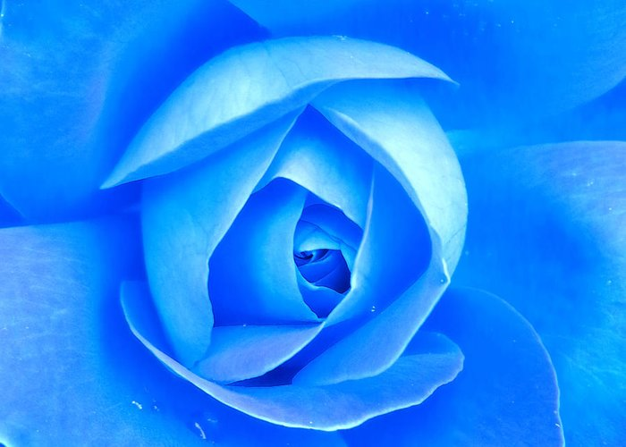 Rose Greeting Card featuring the photograph Blue Rose Macro Shot by Aleksandar Mijatovic