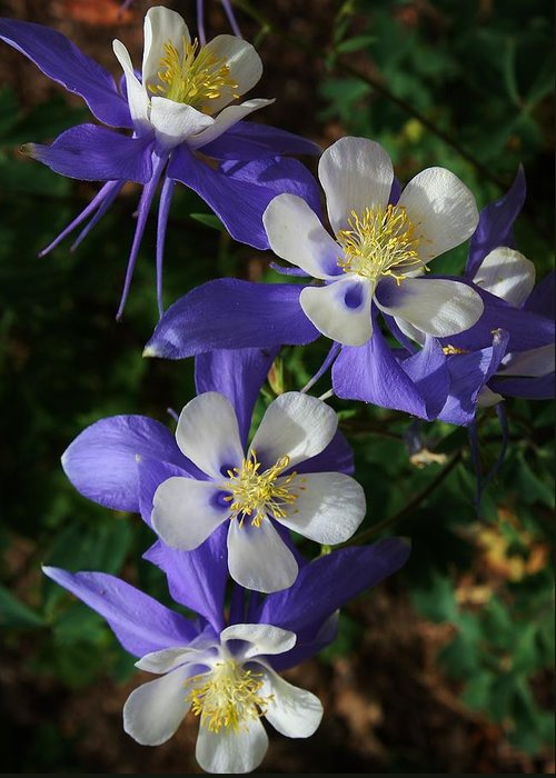 Flora Greeting Card featuring the photograph Blue Saphire Columbine by Bruce Bley