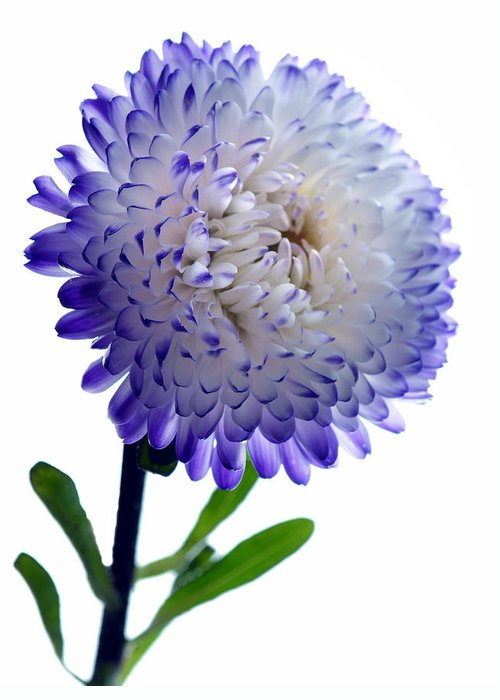 Asters Greeting Card featuring the photograph Blue Tipped Aster by Terence Davis