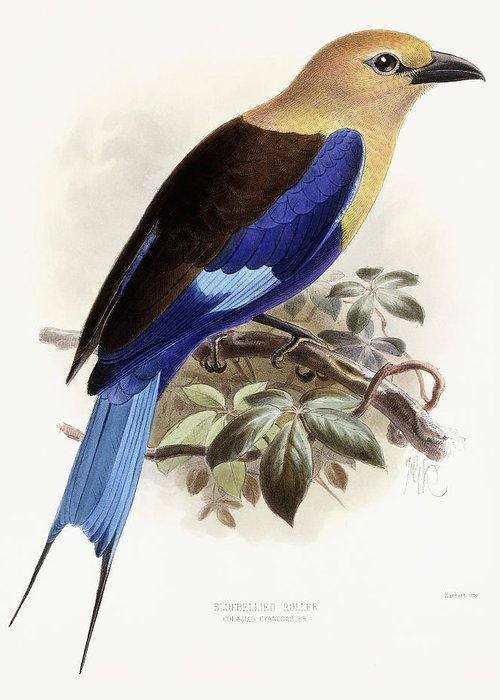 Bird Greeting Card featuring the painting Bluebellied Roller by Johan Gerard Keulemans