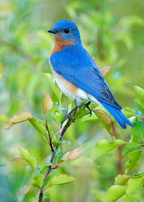 Eastern blue bird greeting cards fine art america eastern blue bird greeting cards m4hsunfo Image collections