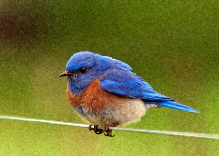 Animals Greeting Card featuring the photograph Bluebird Painting by Jean Noren