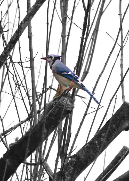 Bird Greeting Card featuring the photograph Bluejay Standout by Linda A Waterhouse