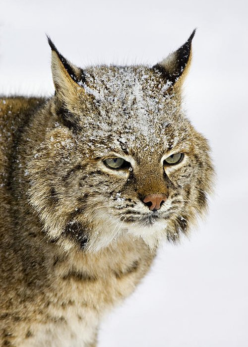 Bobcat Greeting Card featuring the photograph Bob by Jack Milchanowski