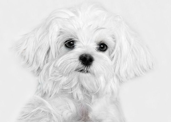 Maltese Puppy Greeting Cards