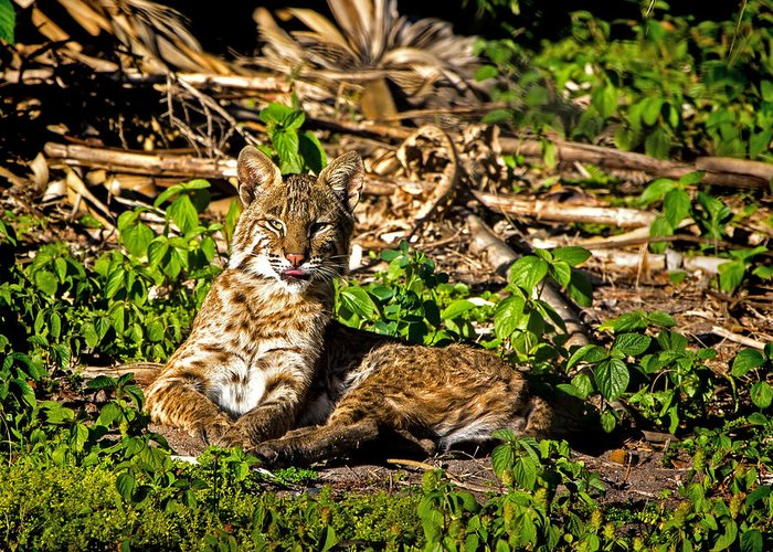 Bobcat Greeting Card featuring the photograph Bobcat At Sunset by Mark Andrew Thomas