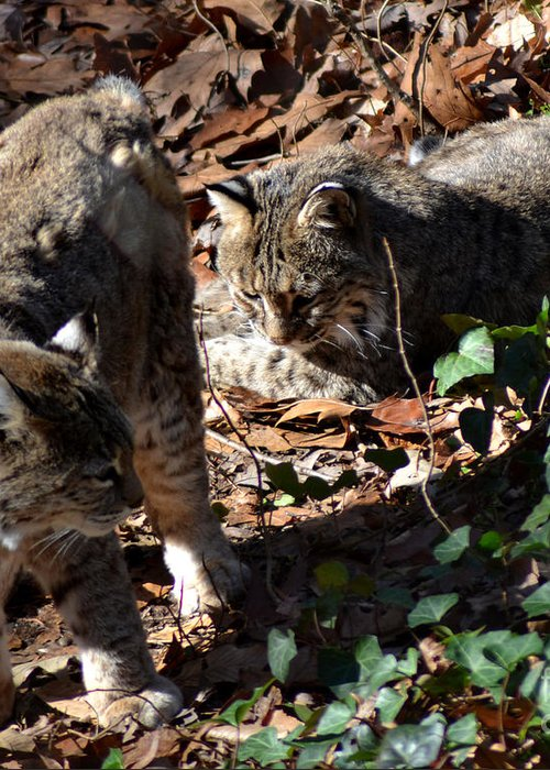 Wildlife Greeting Card featuring the photograph Bobcat Couple by Eva Thomas