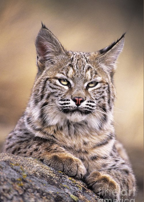 Bobcat Greeting Card featuring the photograph Bobcat Cub Portrait Montana Wildlife by Dave Welling