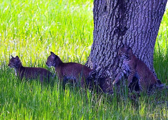 Bobcat Greeting Card featuring the photograph Bobcat Cubs by Diana Berkofsky