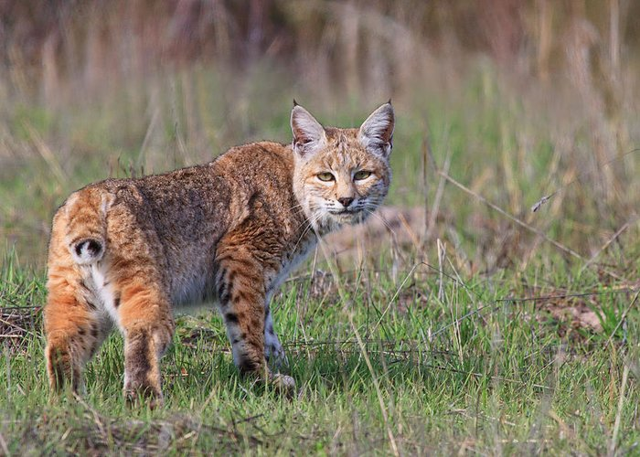 Bobcat Greeting Card featuring the photograph Bobcat Glance by Beth Sargent